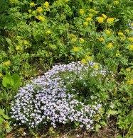 Thyme-leaved Bluets (Houstonia serpyllifolia) & Hairy-jointed Meadow Parsnip (Thaspium barbinode)