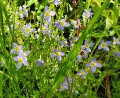 Thyme-leaved Bluets (Houstonia serpyllifolia)