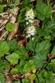 Foamflower; False Miterwort (Tiarella cordifolia)