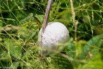 Titleisum japonica*, Another Golf Ball?