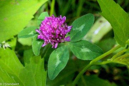 Trifolium pratense* (Red Clover)