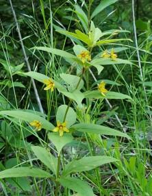 Whorled Loosestrife (Lysimachia quadrifolia) [4]