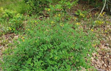 Wild Indigo (Baptisia tinctoria) [1]