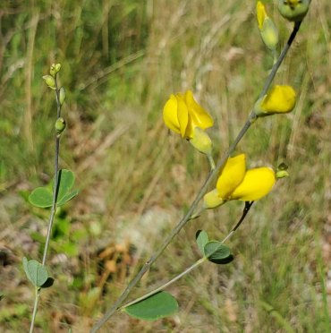 Wild Indigo (Baptisia tinctoria) [3]