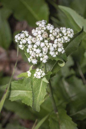 Wild Quinine; American Feverfew (Parthenium integrifolium)