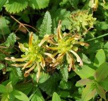 Wood Betony; Lousewort (Pedicularis canadensis)