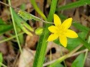 Yellow Star Grass (Hypoxis hirsuta) [2]