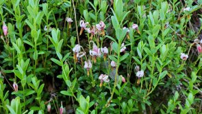 Small Cranberry (Vaccinium oxycoccos)