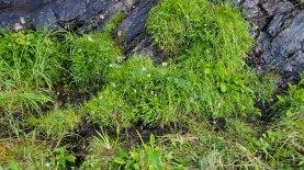 Mower Damage - Barely missed the Canadian Burnet (Sanguisorba canadensis) & Sticky Asphodel (Triantha glutinosa)