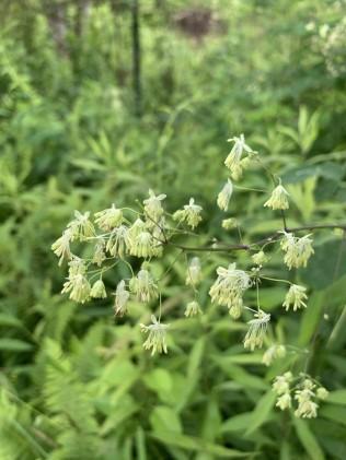 a Meadow Rue (Thalictrum sp.)