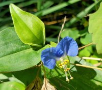 Commelina communis* (Asiatic Dayflower)