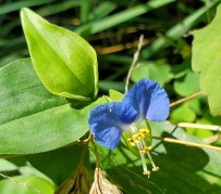 Commelina communis* (Asiatic Dayflower)
