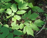 Black Cohosh (Actaea racemosa) Leaf