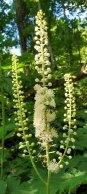 Black Cohosh (Actaea racemosa)