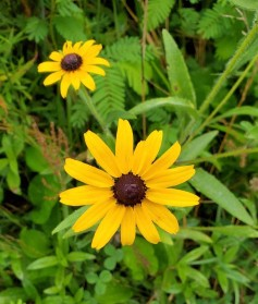 Black-eyed Susans (Rudbeckia hirta) Bloom
