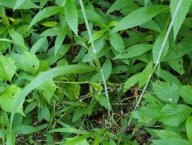 Bottlebrush Grass (Elymus hystrix var. hystrix) Leaves