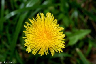 Taraxacum officinale* (Common Dandelion)
