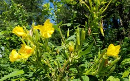 Common Evening Primrose (Oenothera biennis)