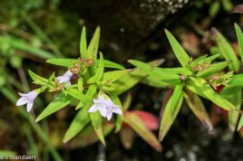 Houstonia longifolia (Long-leaved Houstonia)