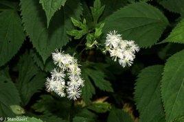 Tassel Rue; False Bugbane (Trautvetteria caroliniensis)