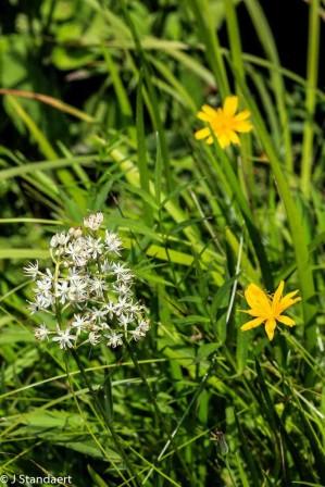 Sticky Asphodel (Triantha glutinosa) and Mountain Cynthia (Krigia montana)
