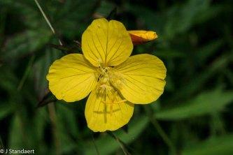 Narrowleaf Sundrops (Oenothera fruticosa)