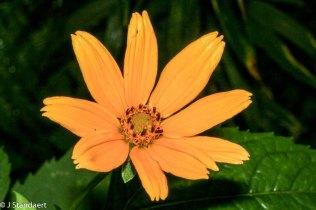 Ox-eye; False Sunflower (Heliopsis helianthoides)