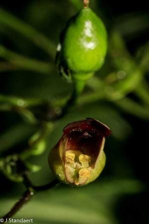 Figwort; Carpenter's Square (Scrophularia marilandica)