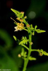 Horse Balm (Collinsonia canadensis)