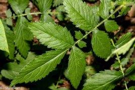 Downy Agrimony (Agrimonia pubescens)