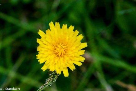 Dwarf Dandelion (Krigia virginica)