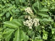 Elderberry (Sambucus nigra ssp. canadensis)