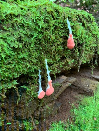 Feather Moss (Hypnum sp.) with Red Raspberry Slime Mold (Tubifera ferruginosa)