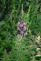 Fireweed (Chamerion angustifolium ssp. Circumvagum)