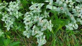 Hoary Mountain Mint (Pycnanthemum incanum) Blooms