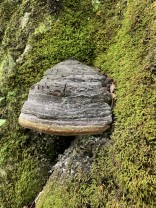 Hoof Fungus (Fomes fomentarius)