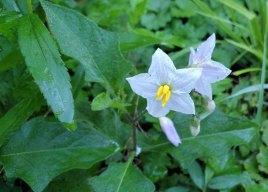 Horse Nettle (Solanum carolinense) Bloom