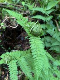 Intermediate Wood Fern (Dryopteris intermedia) with enclosed larva