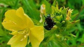 Japanese Beetle Having Fun