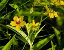Lanceleaf Loosestrife (Lysimachia lanceolata)