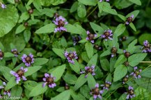 Lance Self Heal (Prunella vulgaris ssp. lanceolata)