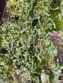 Lichen Stump (Cladonia spp.)