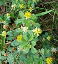 Low Hop Clover (Trifolium campestre*)