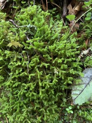 Millipeed Weed (Bazzania trilobata)
