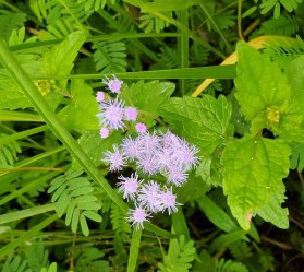 Mistflower (Conoclinium coelestinum) Bloom