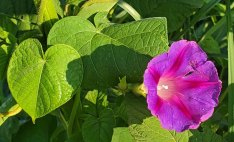 Morning Glory (Ipomoea purpurea*) Bloom