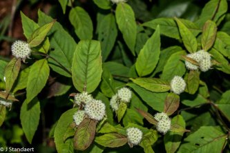 Mountain Mint (Pycnanthemum montanum)