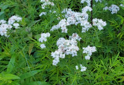 Narrow-leaved Mountain Mint (Pycnanthemum tenuifolium) Bloom
