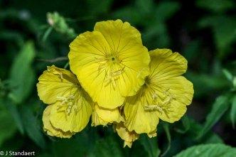 Narrowleaf Sundrops (Oenothera fruticosa sp.)