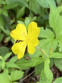 Northern Sundrops (Oenothera fruticosa ssp. glauca)